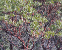Arctostaphylos pungens branches